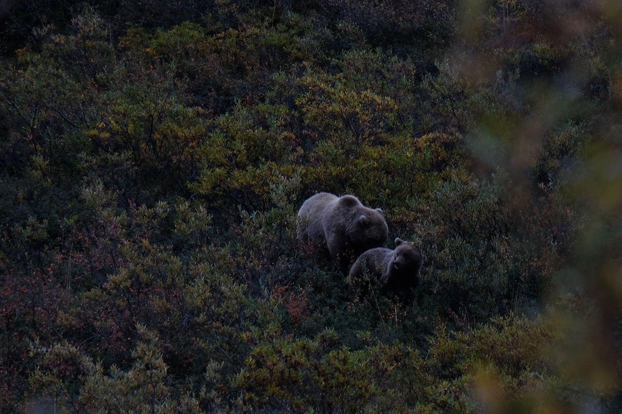 Hiking Denali National Park is a great place to see bears