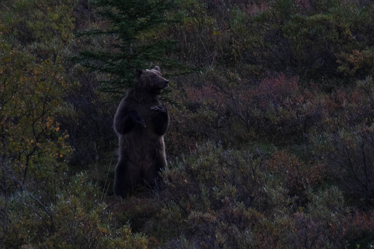 Bear seen while hiking denali national park