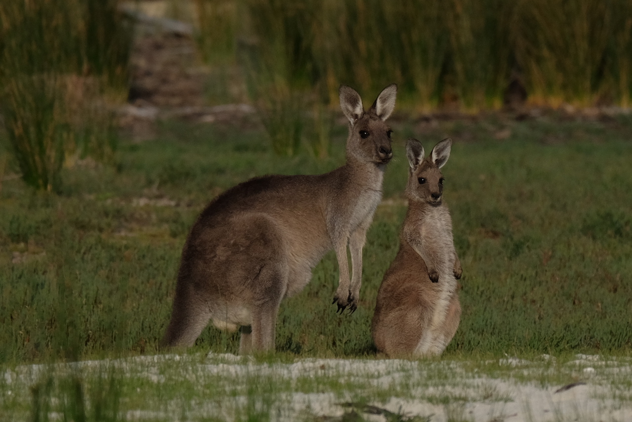 you will see kangaroos whilst driving to uluru