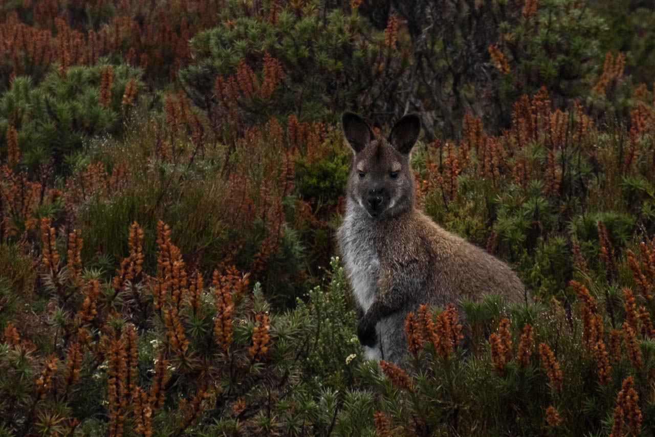 See wallabies while hiking the overland track