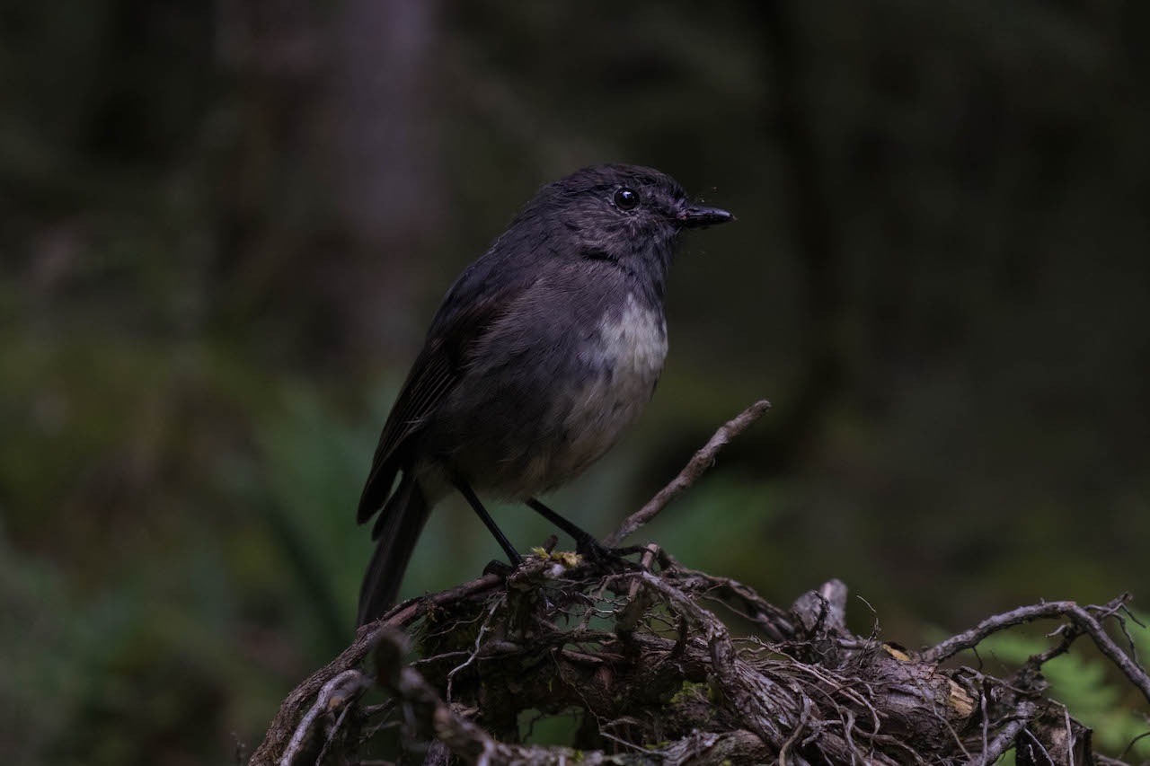 South Island Robins on the Kepler Track